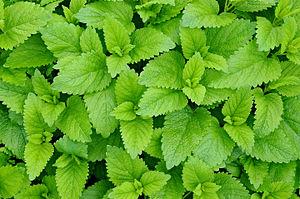 Chlorophyll-plant